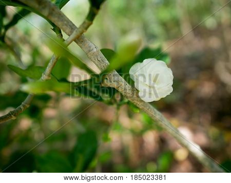Closeup white blooming flower on tree with green leaves background.