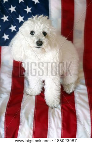 A beautiful Bichon Poodle mix dog sits on an American flag background for her fashion photo shoot.