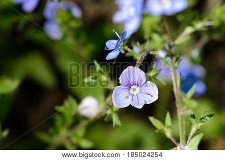 Veronica Chamaedrys Flower