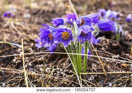 Detail rare and protected spring flower - Pulsatilla. Close up.