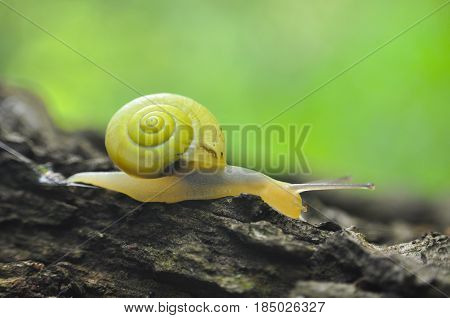 Little yellow snail crawling on willow tree by the river. Snail in nature on tree with a beautiful green background