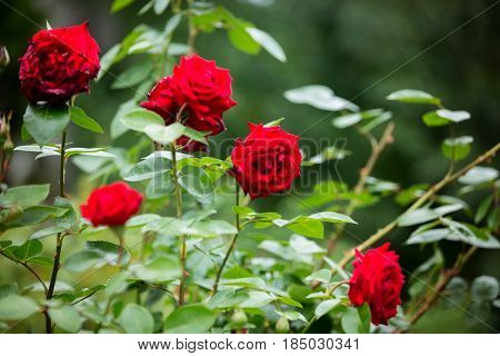 Red roses on a gush in a garden, summertime