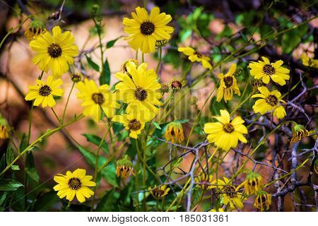Brittlebush Wildflowers native to the desert and chaparral landscapes during spring taken in a rural California field