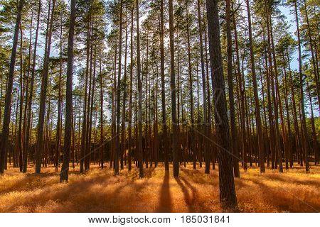 sunset light behind pine trees on coast of Nida