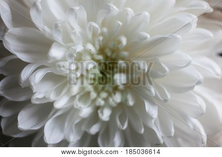 White Chrysanthemum As Background. The White Chrysanthemum Flower, Closeup, Macro. White Flower Clos