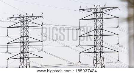 Group of crane birds rest on electricity power line