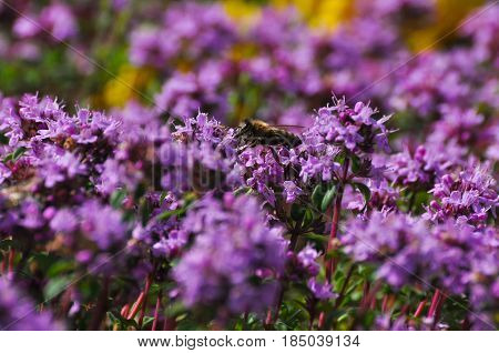 Thymus serpyllum, Breckland thyme, wild thyme or creeping thyme, A beautiful purple soil cover of thyme (a variety of tea) in the wild