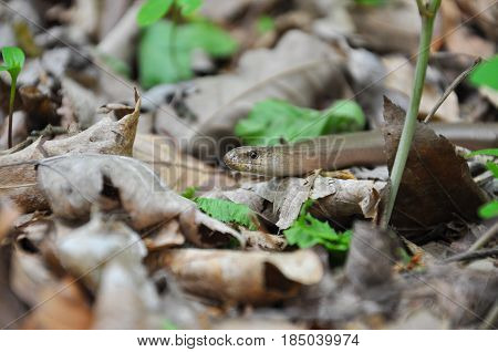 Slow Worm (Anguis fragilis), Legless Lizard in the forest. Slow worm in nature