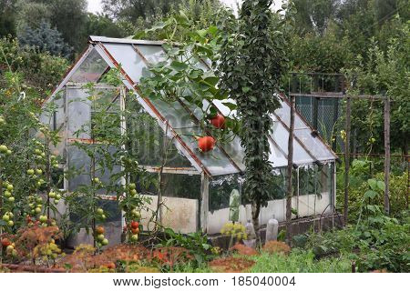 A small greenhouse in the garden with Hokkaido pumpkins on the roof