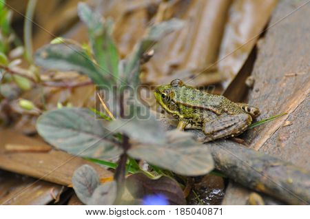 The edible frog (Pelophylax kl. esculentus) common water frog or green frog. Little frog in pond