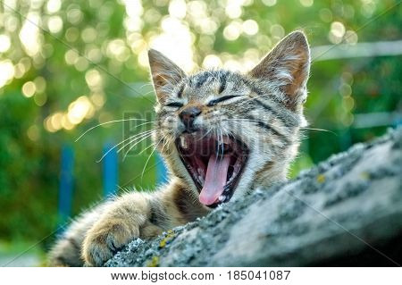 Close uo cute grey kitten yawns outdoors with green trees in background