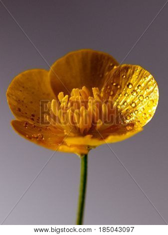 Close Up Macro Of A Wet Buttercup Inside Studio Very Close