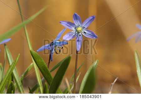 Siberian Squill (scilla Siberica) Blooming In March