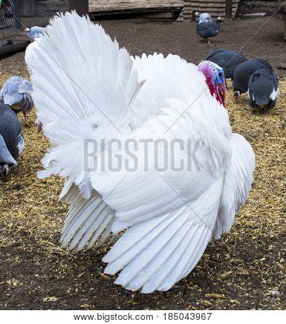 White turkey. turkey in the barnyard. turkey on a farm