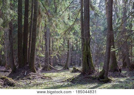 Old alder trees in front of riparian stand in springtime with old alder and spruce trees, Bialowieza Forest, Poland, Europe