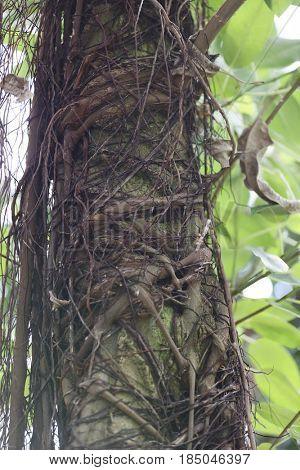 Liana twistes around a tree