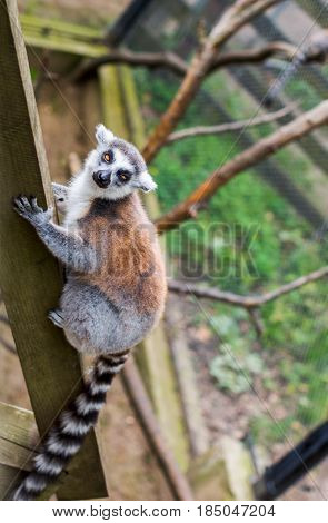 Ring-tailed lemur, lemur catta . Lemur could be found in Zoo