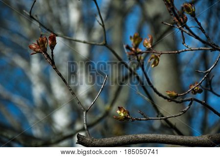The onset of spring. Bloom buds. Maple tree branches