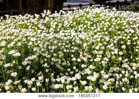 Lots Of Little Daisies In The Meadow Lit By The Sun.
