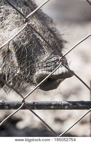 Boar behind a metal fence in the zoo