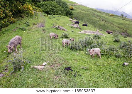 Wild Pigs in the Caucasus mountains of Svaneti Georgia