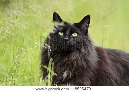 Black norwegian forest cat female  green grass beneath her