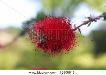 The red bottle brush flowers ( CALLISTEMON PLANT ) Escova-de-garrafa, Lava Garrafas. In a sunny day at the park in Famalicão - Portugal