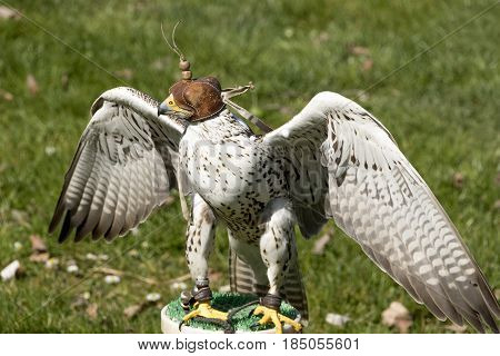 Lanner Falcon with hoodie. The lanner falcon (Falco biarmicus) is a medium-sized bird of prey that breeds in Africa southeast Europe and just into Asia. It is mainly resident but some birds disperse more widely after the breeding season. It is a large fal