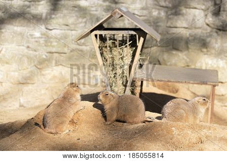 3 prairie dogs in their habitat in an European Zoo. Prairie dogs are herbivorous burrowing rodents native to the grasslands of North America. The five species are: black-tailed white-tailed Gunnison's Utah and Mexican prairie dogs