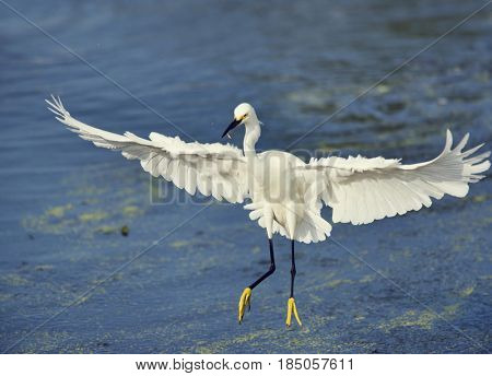 Snowy Egret with a fish in flight over lake
