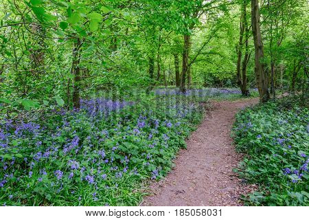 Path through the bluebells in the woods in Spring
