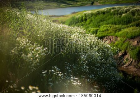 blooming camomiles on the lake shore in summer