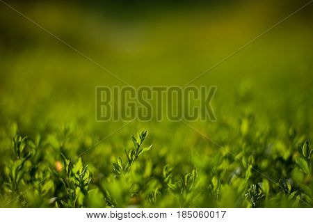 closeup of fresh juicy green grass in summertime