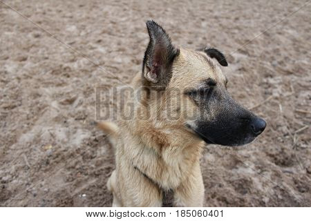 Wistful dog lies on sandy river bank
