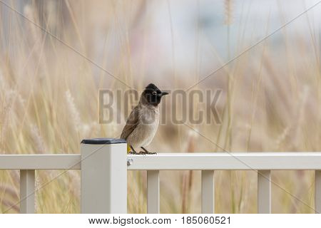 White-spectacled Bulbul Sitting On Metal Fence