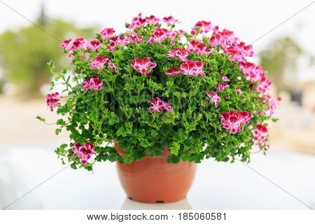 A french geranium in a red pot