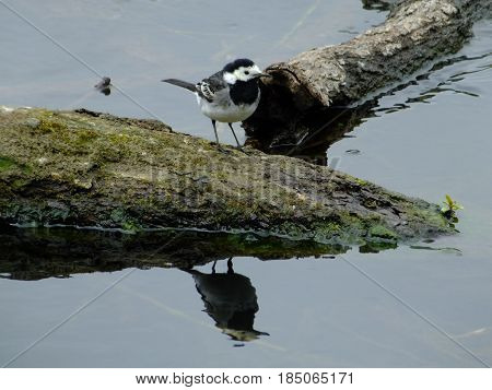 Pied wagtail perched on partly submerged log in river, reflections on water