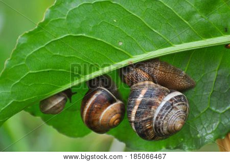 Three snails  on green leaf in garden on rain. Snails in the natural wetland habitats