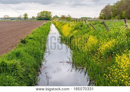 Long straight ditch in a Dutch polder landscape. Yellow flowering rapeseed is at the ditch side. It is a cloudy day in the spring season.