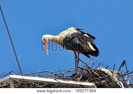 White stork standing in its nest in warm weather. Stork in a nest on a pole