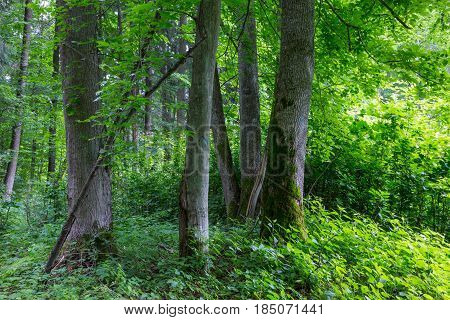Old moss wrapped linden and hornbeam trees in foreground and juvenile stand in background, Bialowieza Forest, Poland, Europe