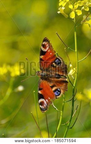 European Common Peacock butterfly (Aglais io, Inachis io) Collecting nectar on wild yellow flowers