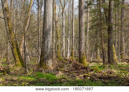 Fresh deciduous stand of Bialowieza Forest with old alder and ash trees in foreground, Bialowieza Forest, Poland, Europe