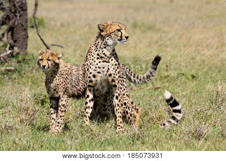 A female cheetah (Acinonyx jubatus) with her half grown cub. Ol Pejeta Conservancy Kenya.