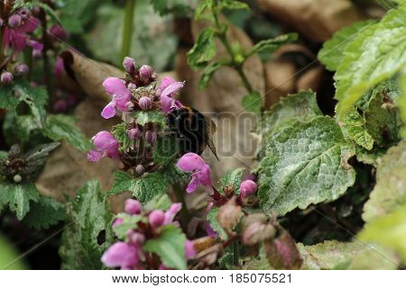 Deadnettle plant /These are lilac Deadnettle plant .