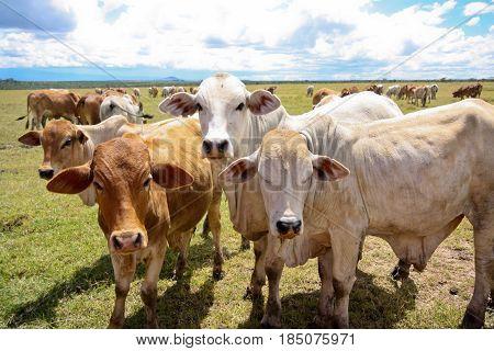 A herd of young boran cattle in Kenya. Ol Pejeta Conservancy.