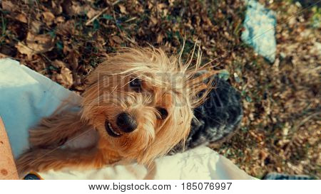 Yorkshire Terrier Dog on the brown grass.