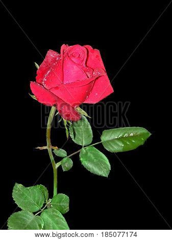 photography with scene of the red rose with drop of water on black background