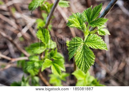 Leaves In Yellow Spots,crimson Branch, A Raspberry Bush, A Green Bush.