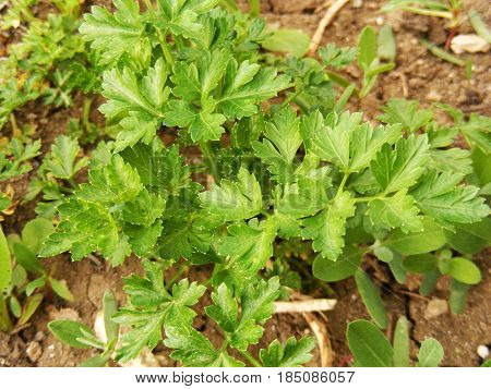 Parsley plant grown in organic natural environment, village parsley, pictures of parsley on the field